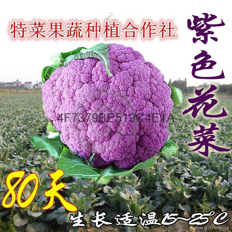 紫花菜种子价格 1