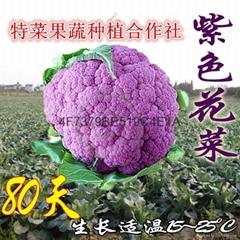 紫花菜种子价格