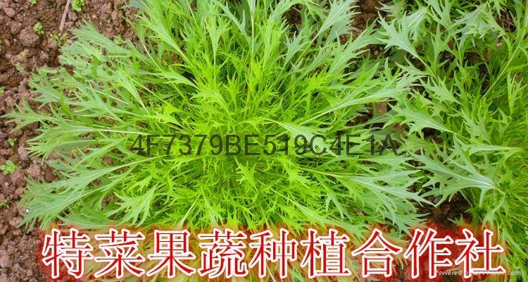 京水菜种子价格 1