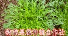 京水菜种子价格