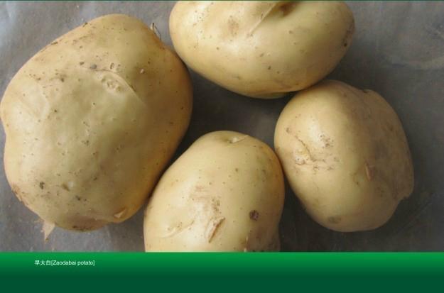 土豆種子早大白 1