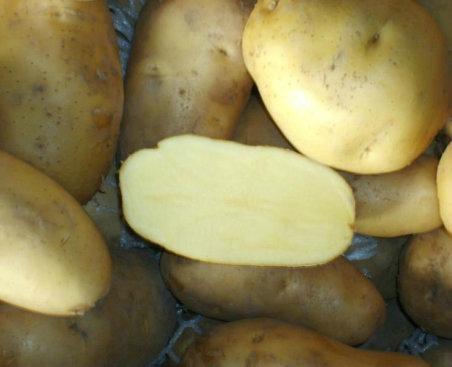 土豆种子早大白 2