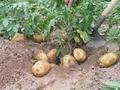 土豆种子早大白 3