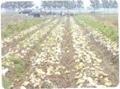 土豆種子早大白 4