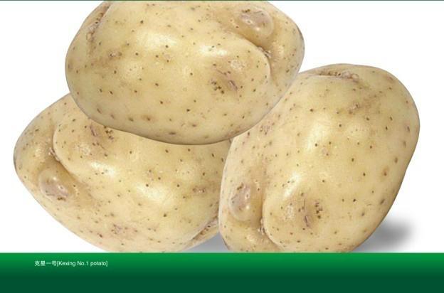 土豆种子克新1号 1