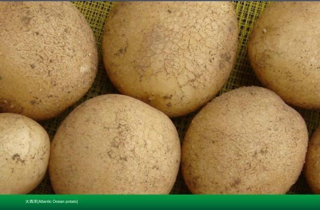 大西洋土豆种子 1