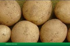 大西洋土豆種子