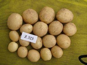 大西洋土豆种子 2