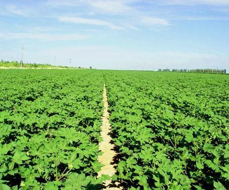 大西洋土豆种子 4