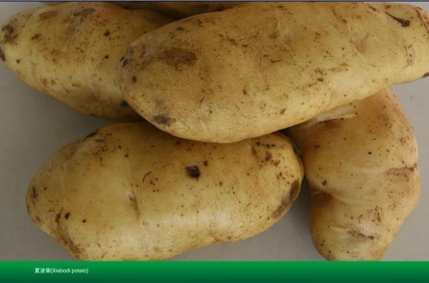 土豆種子夏破蒂 1