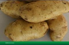 土豆种子夏破蒂