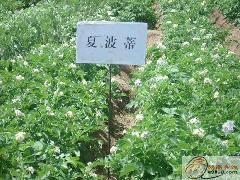 土豆種子夏破蒂 2