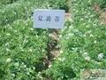 土豆种子夏破蒂 2