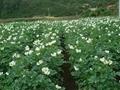 土豆種子夏破蒂 3