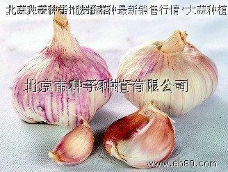 大蒜種子 2