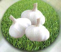 大蒜種子 5