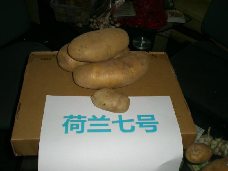 土豆種子荷蘭7 1