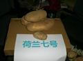 土豆种子荷兰7