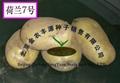 土豆種子荷蘭7 4