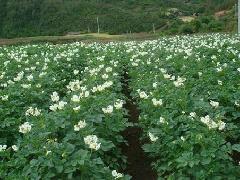 土豆种子荷兰7 5