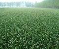 金鄉大蒜種子
