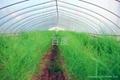蘆筍種子阿波羅 3