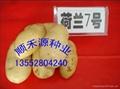 土豆種子 1