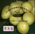 土豆種子 2