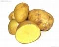 土豆種子 3