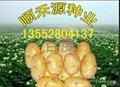 土豆種子 4