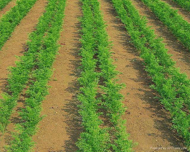 進口胡蘿蔔種子黑田五寸 5