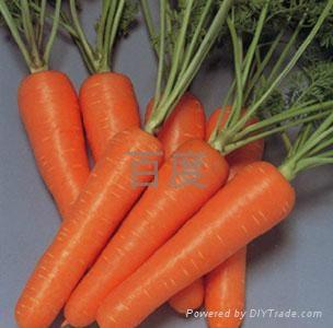 胡萝卜种子 2