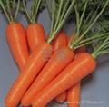 胡蘿蔔種子 2