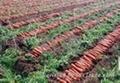 胡蘿蔔種子 3