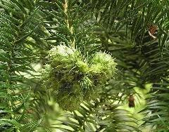 供应广西融水新产杉木种籽30吨 1
