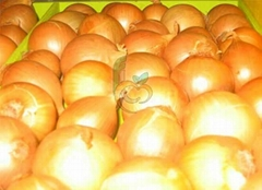 Egyptian golden onion by fruit link
