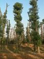 湖南益陽香樟基地 1