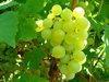 濃縮白葡萄汁