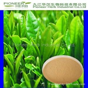 Green Tea  Extract tea polyphenols EGCG 1