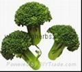 China Broccoli Extract  2