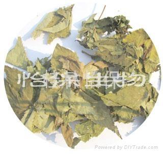 廣西甜茶  甜茶葉 1
