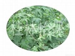 薔薇科懸鉤子植物