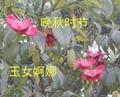 陝西衛矛 2