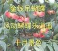 陝西衛矛 1