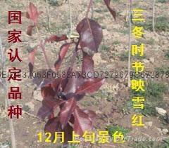 映雪红黄杨