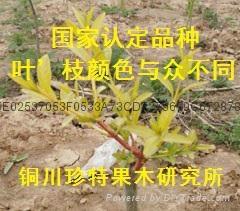 金枝玉葉絲綿木