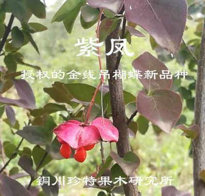 彩葉金線吊蝴蝶---紫鳳 1