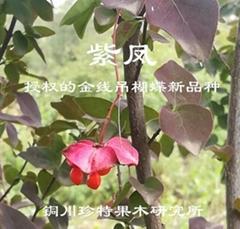 彩叶金线吊蝴蝶---紫凤