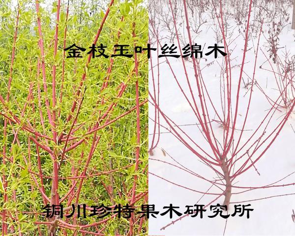 金枝玉葉絲綿木 1