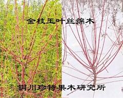 金枝玉叶丝绵木